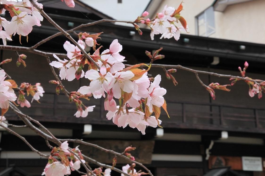 平湯の桜と古民家
