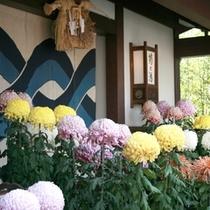 ■秋は菊に彩られる玄関