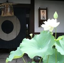 ■菊之湯と蓮の花