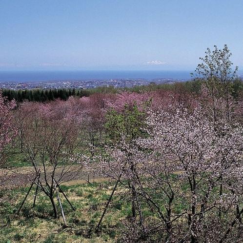 【天都山の桜】