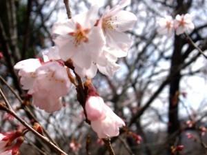 上長瀞の桜