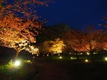 通り抜けの桜ライトアップ