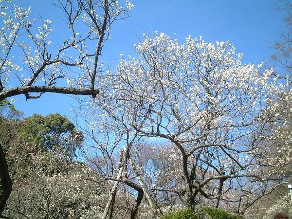 【熱海梅園(春)(1)】(※写真はイメージです)