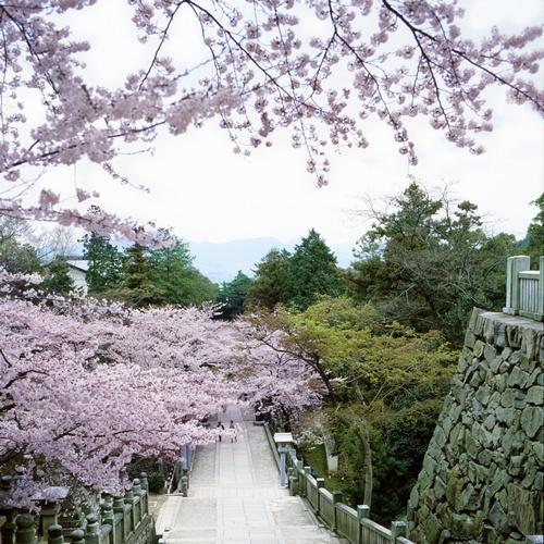 金毘羅さん桜(2)