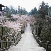 金毘羅さんの桜