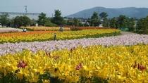 【ゆりの里公園】6月にはたくさんのゆりの花が咲き誇ります。