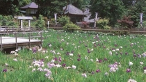 【大安寺】※境内西側には花しょうぶ園があり、初夏には美しく咲き誇ります♪