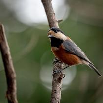 【小鳥】自然豊かな花の雲では、様々な小鳥とも出会えます。