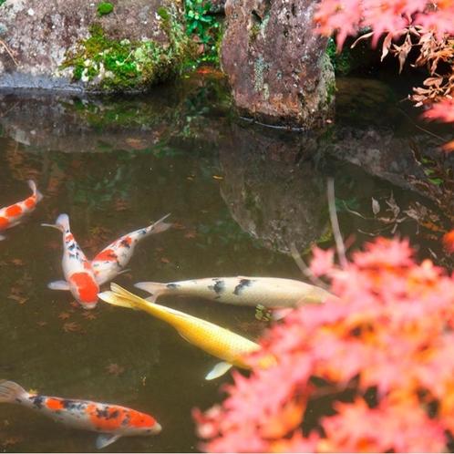 【秋/紅葉】中庭の紅葉と池の鯉