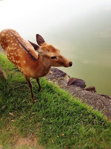 奈良の小鹿