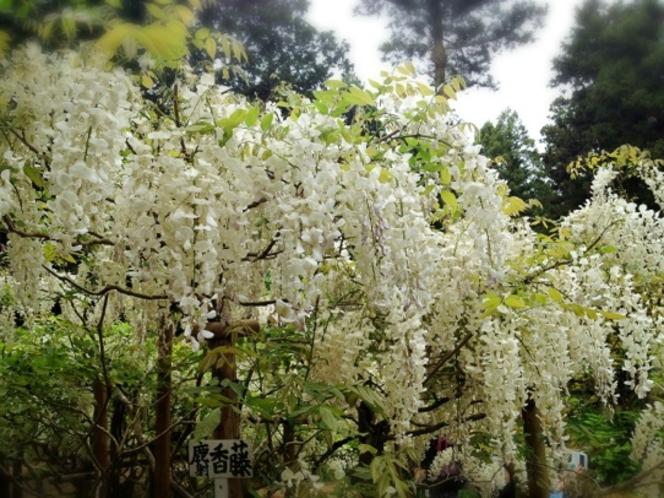 凛とした美しさ。藤の香り漂います。