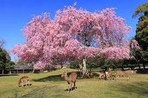 桜 奈良公園