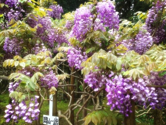 20品種、200本の藤の花が見事に開花します。