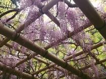 萬葉植物園 藤の花