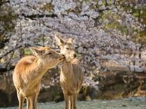 鹿さんと桜。