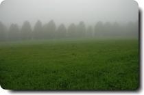 霧の中のユリノキ並木