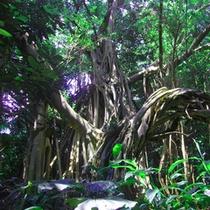 *【ガジュマル公園】神秘的なガジュマルと海を見ながら歩ける、1周15分ほどの歩道があります。