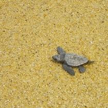 永田浜では毎年海亀の産卵が見れます♪