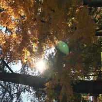 【黄葉】 軽井沢プリンスショッピングプラザの黄葉。黄色に染まった木々もとってもきれいです♪車15分