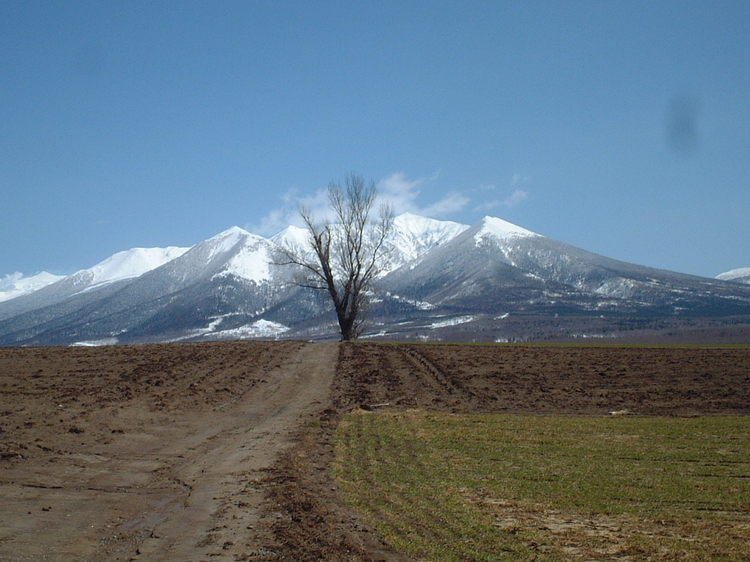 【春】春の前富良野岳とポプラの樹