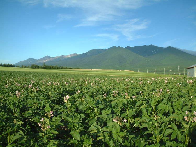 【夏】十勝岳連峰とジャガイモの花