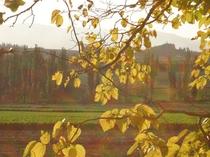 【秋】黄葉のポプラの樹