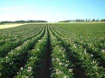 【夏】見渡す限りジャガイモ畑