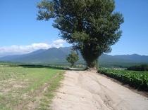 【秋】ポプラの樹と十勝岳連峰