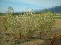 【春】サクランボの木