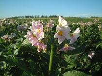 【夏】ジャガイモの花、アップで