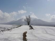 【春】雪解けとポプラ