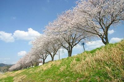 修善寺駅近く狩野川沿いに咲く染井吉野