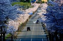 大畑の桜並木