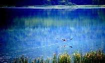 宇曾利湖の鵜