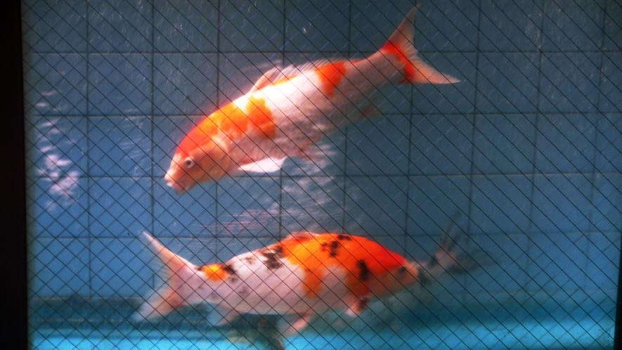 優雅に泳ぐ鯉を眺めながらの温泉浴