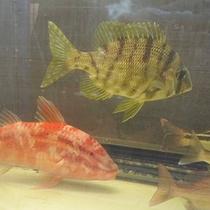 生け簀の魚