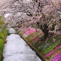 伊勢原の芝桜
