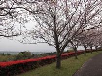 瀬戸公園の桜、つつじ