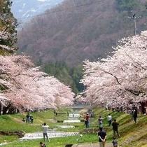 【春】約1km続く桜回廊、観音寺川の桜並木(4月末〜GW/ホテルより車で35分)