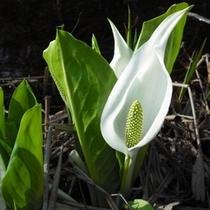 【春】白いドレスが美しいミズバショウ(4月末〜GW/裏磐梯各地)