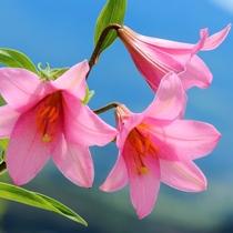 【6月上旬】可憐な花を咲かせるヒメサユリ(喜多方市-ヒメサユリ群生地・ホテルより車で約65分)