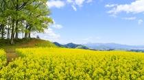 【5月中下旬】350万本の菜の花畑「三ノ倉高原」