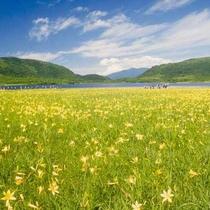 【6月下旬~7月上旬】ニッコウキスゲの黄色い絨毯(喜多方市-雄国沼・ホテルより車で約90分)