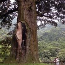 中川の箒(ほうき)スギ 国の天然記念物 推定の樹齢は2000年以上