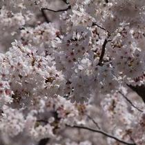 【春の景色】この桜を見に来て頂き、気持ちをリフレッシュして頂きたいです。