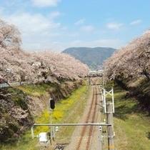 【春の景色】線路沿いの桜。この時期はのんびりと運転して欲しいですね。