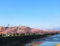 高野川の桜並木★松ヶ崎橋より