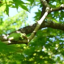鮮やかな新緑に目を奪われる時期。目を凝らすとモリアオガエルのお昼寝が見られるかも