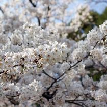 鮮やかに春を彩るソメイヨシノ。3月の末頃に満開を迎えます。
