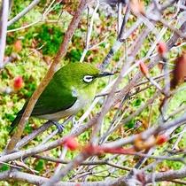 ドウダンツツジの枝には小鳥たちが集まってきます。